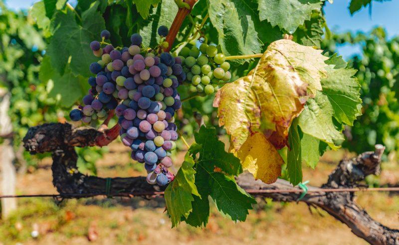 Wine Sardinia Gallura