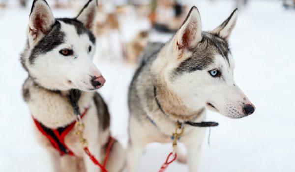Dogs snow sledding Italy Dolomites