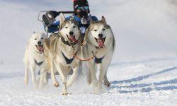 Dogs running sledding mushing Italy Snow Dolomites