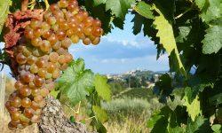 Chianti Wineyards Wine Grapes San Gimignano