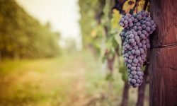 Wine Grapes Vineyards Trtavel Italy Langhe